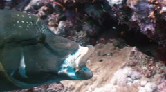 Napoleon Fish on Coral Reef in ocean sea close up - stock footage