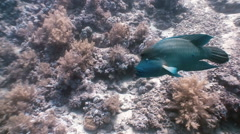 Napoleon Fish on Coral Reef in ocean sea close up Stock Footage