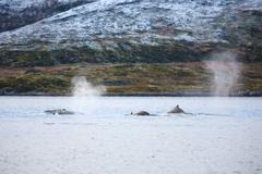 Large humpback whales in the arctic Stock Photos