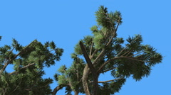 Jeffrey Pine Pinus Jeffreyi Top of Branches Coniferous Evergreen Tree is Stock Footage