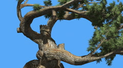 Jeffrey Pine Pinus Jeffreyi Old Swaying Branches Coniferous Evergreen Tree is Stock Footage