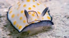 Macro Color Nudibranch Mollusc True Sea Slug. - stock footage