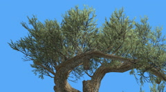 Jeffrey Pine Pinus Jeffreyi Two Curved Branches Coniferous Evergreen Tree is Stock Footage