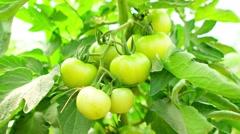 Immature green tomatoes on garden Stock Footage