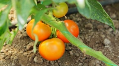 Red tomatoes on garden Stock Footage