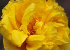 Big yellow flowers closeup full Stock Photos