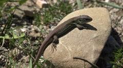 Little lizard resting on war stone, sunny day outside Stock Footage