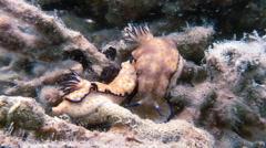 Nudibranch Mating While Walking Across Ocean Floor - stock footage