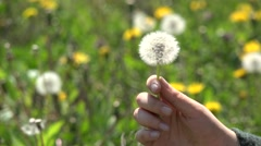 Woman finger hand playing with dandelion, gentle touch, seed flying free, detail Stock Footage