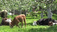 Healthy cows enjoy spring time, blossom trees, natural food sunny day Stock Footage