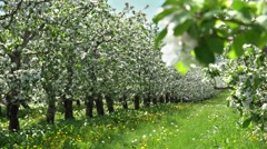 Blossom apple orchard, flourish meadow, lively, spring yield, gorgeous landscape Stock Footage