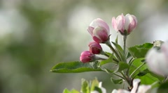 Macro pink bud on blossom branch, blur background, balancing, spring breeze Stock Footage