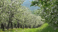 Blossom orchard alley, beautiful spring landscape, green life, lush nature  Stock Footage