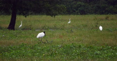 Jaburu, Tuiuiu is a bird of the brazilian Pantanal. Stork - 4K Stock Footage