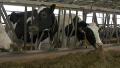 Black and white cows standing and eating in stable on ranch. Holstein. Close up. Arkistovideo