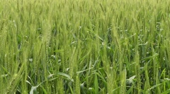 Green wheat waving in the wind Stock Footage
