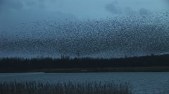 Black birds in large flock blue sky in England Stock Footage