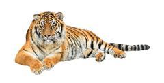 Siberian tiger (Panthera tigris altaica) cutout Stock Photos