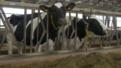 Holstein. Black and white cows standing and eating in stable, big livestock farm Stock Footage