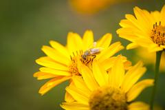 Bee flying from flower to flower and pollinate - stock photo