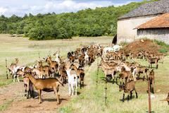 Herd of goats on pasturage, Aveyron, Midi Pyrenees, France Stock Photos