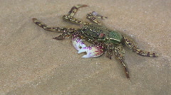 Crab in shallow water on the beach Stock Footage