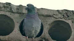 Gray wild pigeon bird sitting in a concrete slab looks Stock Footage