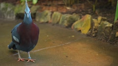 Crowned pigeons in garden Stock Footage