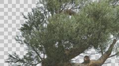 Jeffrey Pine Lush Crown Pinus Jeffreyi Coniferous Evergreen Tree is Swaying at - stock footage
