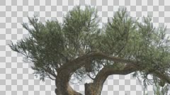 Jeffrey Pine Two Branches Pinus Jeffreyi Coniferous Evergreen Tree is Swaying Stock Footage