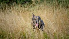 German shepherd jumping out of the bush and running Stock Footage