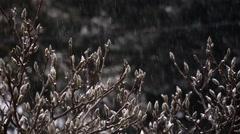 Magnolia tree in looping real snowfall Stock Footage
