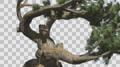 Jeffrey Pine Old Branches Pinus Jeffreyi Coniferous Evergreen Tree is Swaying Stock Footage