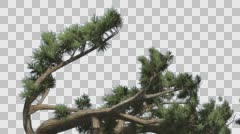 Jeffrey Pine Pinus Jeffreyi Leaned Tree Coniferous Evergreen Tree is Swaying at Stock Footage