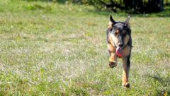 Young german shepherd running to camera Stock Footage