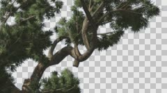 Jeffrey Pine Pinus Jeffreyi Branches Coniferous Evergreen Tree is Swaying at Stock Footage