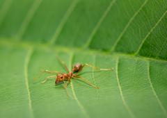 Dangerous red ant in nature. Stock Photos
