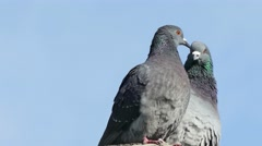 Two gray pigeons dove kissing  on blue sky background Stock Footage