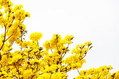 Yellow tabebuia flower blossom on white background Stock Photos
