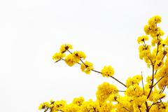 Yellow tabebuia flower blossom on white background - stock photo