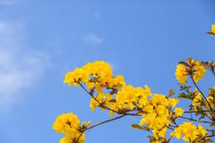 Yellow tabebuia flower blossom Stock Photos