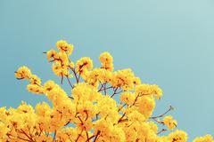 Yellow tabebuia flower blossom Stock Photos