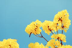 Yellow tabebuia flower blossom - stock photo