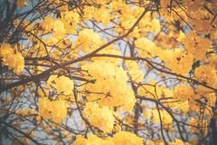 Yellow tabebuia flower blossom - stock photo