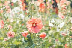 hollyhock flower blossom in garden - stock photo