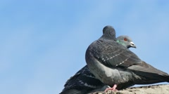 Stock Video Footage of two gray pigeons sex dove kissing  on blue sky background