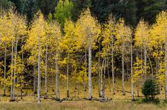 Aspen Trees Shed Their Yellow Leaves - stock photo