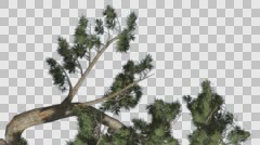 Jeffrey Pine Pinus Jeffreyi Leaned Tree Branch Coniferous Evergreen Tree is Stock Footage