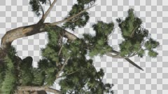 Jeffrey Pine Pinus Jeffreyi Old Curved Tree Coniferous Evergreen Tree is Stock Footage