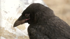 Close up view of a sleeping crow, Paris Stock Footage